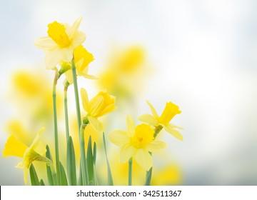spring daffodils  in garden on blue bokeh background