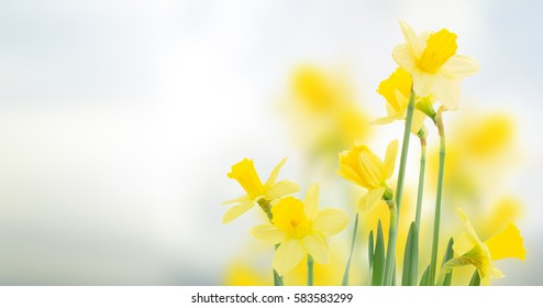 spring daffodils  in garden on blue bokeh background