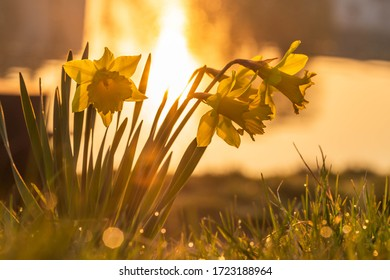 Spring daffodils in the light of the rising sun. Daffodils on the banks of the river, the sun shines behind them, golden color