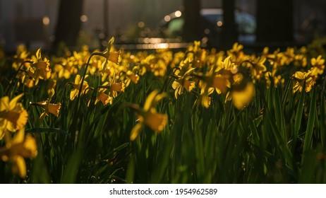 Spring daffodils in the morning sun