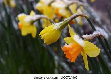 Spring daffodils opening, with a sprinkling of late snow on their petals
