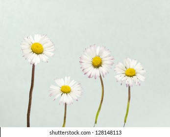 spring daisies on abstract background