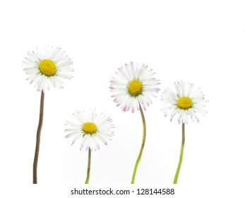 spring daisies on white background