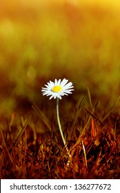 A Spring daisy emerging from grass that has been tinted to appear as a scorched wasteland.  The bokeh background has the appearance of forest fire traveling into the distance.