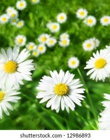 spring daisy meadow