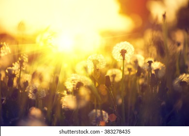 Spring Dandelion field over sunset background. Dandelion blowing seeds in the wind. Nature scene