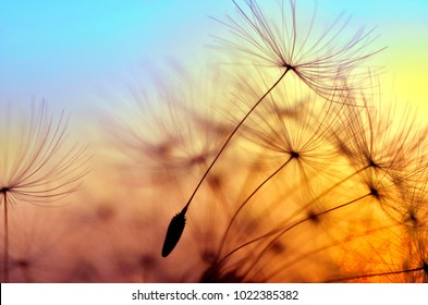 Spring dandelion in the light of setting sun, zen background