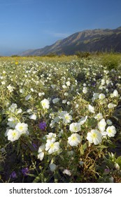 Spring desert lilies in field off of Henderson Road in Anza-Borrego Desert State Park, near Anza Borrego Springs, CA