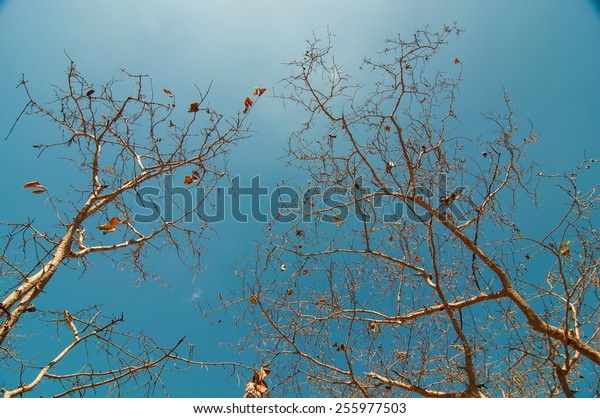 Spring dry trees, blue sky background.