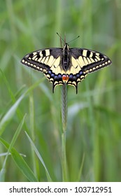 Spring European Swallowtail butterfly Papilio machaon