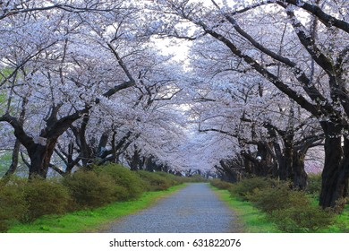 Spring exhibition of tensyouchi cherry trees