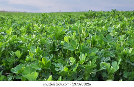 In the spring farm field young alfalfa grows