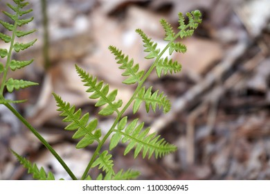 Spring fern plant, green, new growth, with brown old forest floor in background