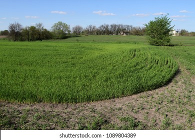 Spring field with amicable crops of cereals. Green field with plants on a country farm.
