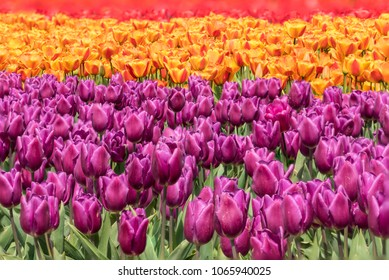 Spring Field of Blooming Purple, Orange and Red Tulips