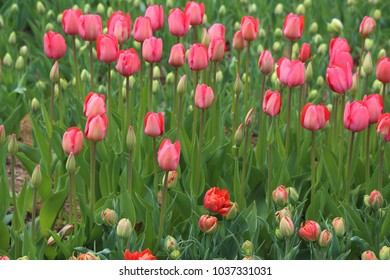 Spring field of blooming red tulips.