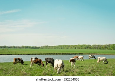 Spring field with cattle grazing near the lake