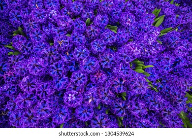 Spring field of fragrant flowers of hyacinths. Hyacinth delicate spring flower, a symbol of spring. Floral background or texture.