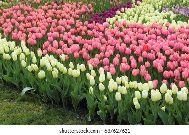 Spring field of multi-colored tulips.