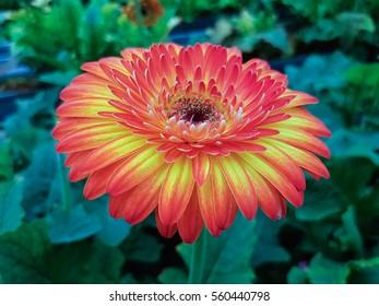 Spring field of red Gerbera Daisy
