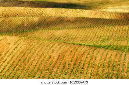 spring field. rows of sprouted agricultural crops. picturesque hilly field. agricultural field in spring