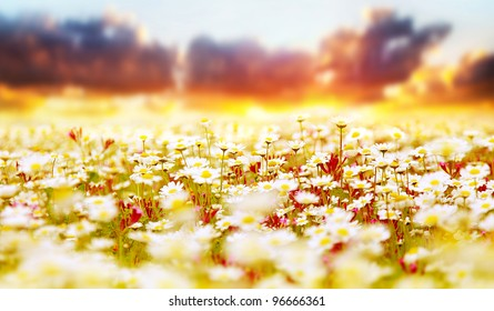 Spring field of white fresh daisies, natural panoramic landscape over sunset sky background