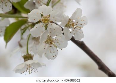 Spring Flora - Black Cherry Blossoms