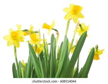 Spring floral border, beautiful fresh daffodils flowers, isolated on white background. Selective focus