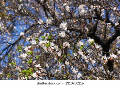 Spring flovering trees with blooming small white flowers on a background of a black branches and blue sky