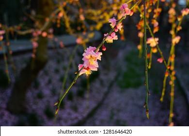 A spring flower along Nabana no Sato, Mie, Japan
