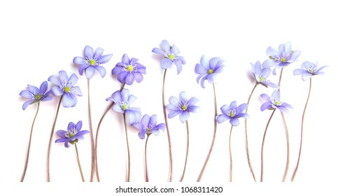 Spring flower Anemone Hepatica isolated on white background. Violet common hepatic, liverwort on white.
