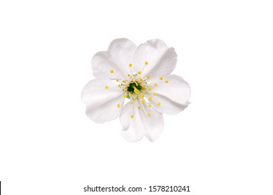 Spring flower apple blossoms bloomed isolated on white. White blossom flower without shadow. Image contains clipping path.