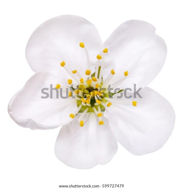 весенний цветок цветение яблони цветет изолированные на белом, путь в пути