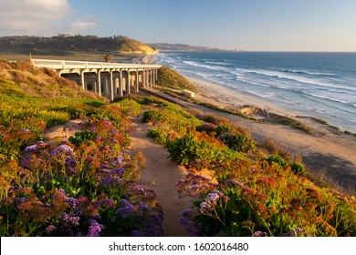Spring flower bloom at Torrey Pines State Beach, San Diego, California.