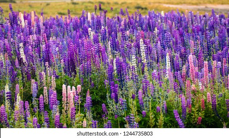 Spring flower, blooming lupine flowers. A field of lupines. Sunlight shines on plants in New Zealand. Violet spring and summer flowers. Gentle warm soft colour, blurred background.