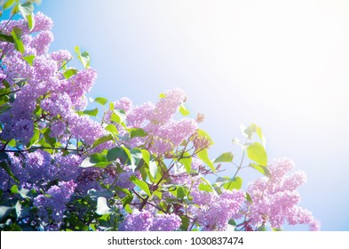Spring flower, a branch of lilac.