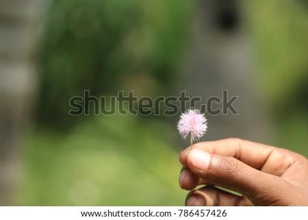 Spring Flower Chennai Tamilnadu India 02012018 Stock Photo Edit Now