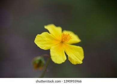 Spring flower close up. Mild focus.