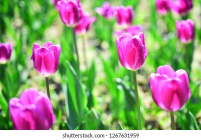 spring flower field. summer time. farming and gardening. 8 march or womens day. flower shop concept. mothers day holiday present. nature and ecology. beauty. holland tulips field. Tulip field.