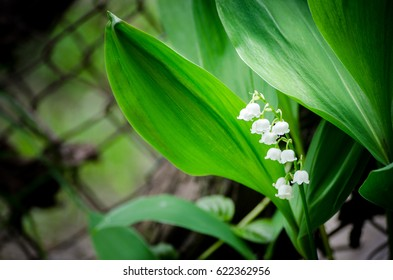 Spring flower lily of the valley convallaria majalis.