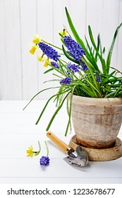 Spring flower muscari and narcissus in pot with garden inventory at white wooden board gardening and floriculture.