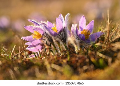 Spring flower. Nature - meadow and sunset. Seasonal concept for springtime. Beautifully blossoming pasque flower and sun with a natural colored background. (Pulsatilla grandis)