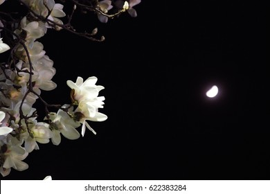 spring flower in spring night with moon