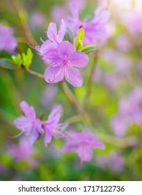 Spring flower pink almond closeup in garden. - Shutterstock ID 1717122736
