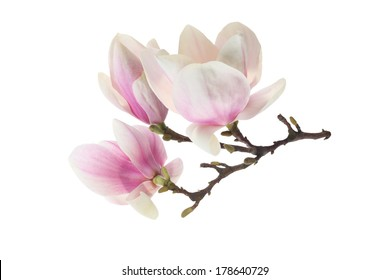 spring flower of pink and white magnolia