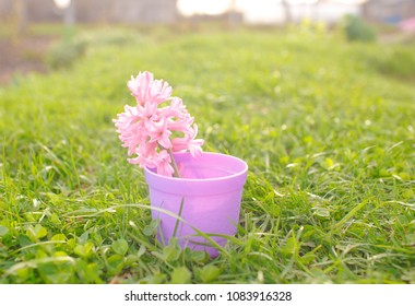 Spring flower in a pot. Close-up of a hyacinth