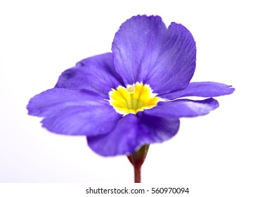 Spring flower of purple Primula vulgaris on a white background