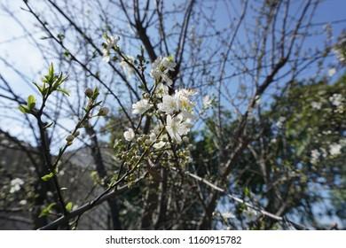 Spring flowera of a peach tree