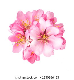 Spring. flowering almonds. flowering almond trees. pink flowers almonds closeup isolated on white background