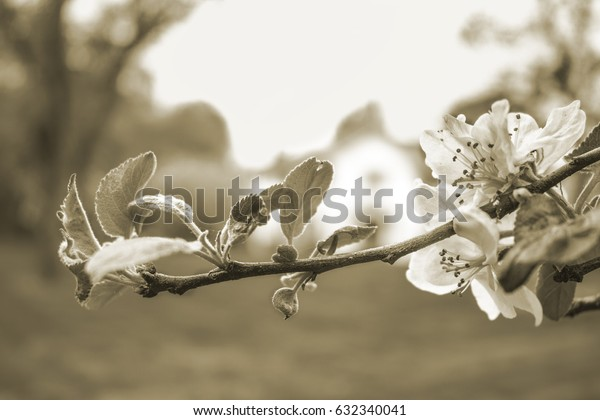 Spring Flowering Apple Blossom Branch